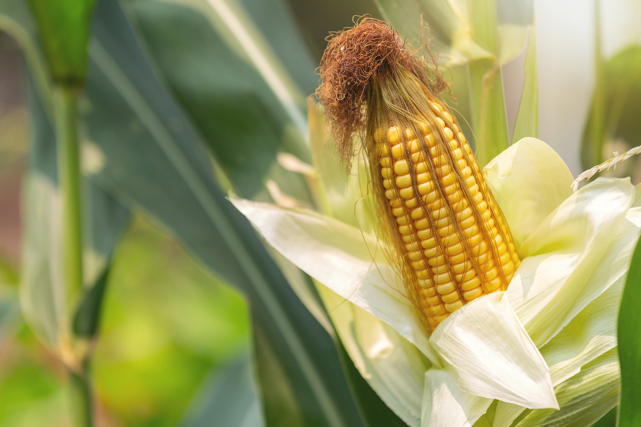 A stalk of corn